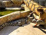 Ривьера шоу крокодилов, представления